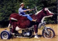Human and Cow Motorbike